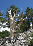 Dead Bristlecone Pine tree in the Great Basin National Park, Nevada Royalty Free Stock Image