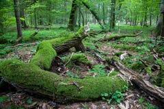 Dead broken oak lying Royalty Free Stock Photos