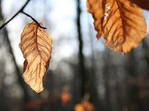 Dead Brown Autumn leaf Royalty Free Stock Photos