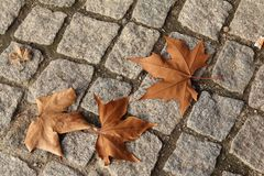 Autumn leaves on a cobble path. Dead brown leaves laying on a grey cobble path stock photos