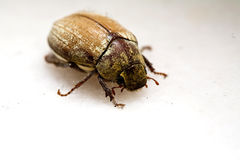 A dead bug Royalty Free Stock Photo