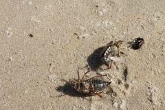 Dead bugs on Latvian beach. Three dead bugs on beach Stock Photos