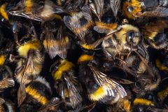 Dead Bumblebee and Honeybee bodies. Pesticides: top view of a pile of many dead Honeybee and Bumblebee bodies royalty free stock photo