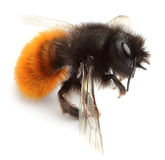 Dead bumblebee. Royalty Free Stock Photography
