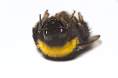 Dead bumblebee Stock Photography