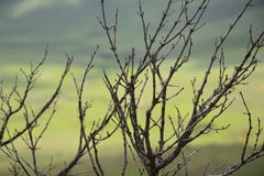 Dead bush with green background Royalty Free Stock Images