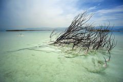 Dead Bush in Dead Sea Stock Image