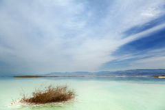 Withered Bush in Dead Sea Royalty Free Stock Photo