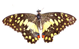 Dead butterfly Stock Image