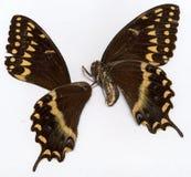 Dead butterfly Stock Photo