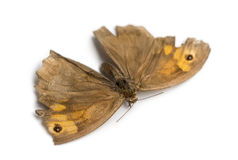 Dead butterfly drowned in horse trough, isolated royalty free stock image