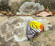 Dead butterfly on the ground Royalty Free Stock Photography