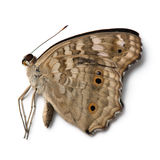 Dead butterfly Royalty Free Stock Images