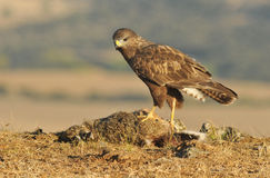 Dead buzzard eagle prey observed Royalty Free Stock Photos