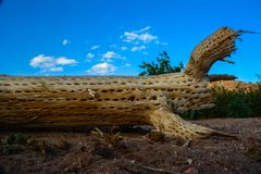 Dead cactus over the ground making a great scene stock photography