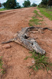 Dead Caiman  skeleton in South Pantanal, Brazil Royalty Free Stock Photo
