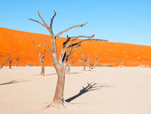 Dead camel thorn trees in Deadvlei dry pan with cracked soil in the middle of Namib Desert red dunes, Sossusvlei Stock Photography