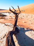 Dead camel thorn trees in Deadvlei dry pan with cracked soil in the middle of Namib Desert red dunes, Sossusvlei Royalty Free Stock Photography