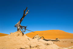 Dead camelthorn tree against red dunes and blue sky in a valley next to Deadvlei. stock image