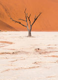 Dead Camelthorn Trees in Dead Vlei, Namibia Royalty Free Stock Image