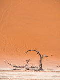 Dead Camelthorn Trees in Dead Vlei, Namibia Stock Photography