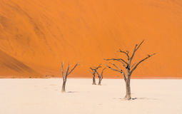Dead Camelthorn Trees in Dead Vlei, Namibia Royalty Free Stock Photography