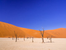 Dead Camelthorn Trees in Dead Vlei, Namibia Royalty Free Stock Photo
