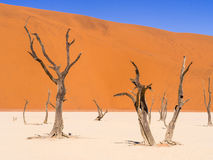 Dead Camelthorn Trees in Dead Vlei, Namibia Royalty Free Stock Photos