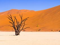 Dead Camelthorn Trees in Dead Vlei, Namibia Royalty Free Stock Images