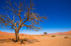 Dead Camelthorn Trees and red dunes in Sossusvlei, Namib-Naukluf Stock Images
