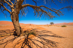 Dead Camelthorn Trees and red dunes in Sossusvlei,Namib-Naukluft Stock Photography