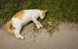 Dead cat at the road side royalty free stock photo