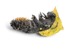 Dead caterpillar while transforming in chrysalid, isolated Stock Photos