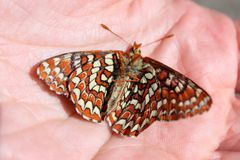 Dead Checkerspot Butterfly. Dead Chalcedon Checkerspot butterfly in a person's hand Stock Images
