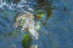 Dead Chinook Salmon during spawning season, Ketchikan Creek, Ketchikan, Alaska. royalty free stock photo