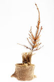 Dead Christmas tree Stock Image
