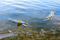 Dead chum salmon (Oncorhynchus keta) in Chehalis River, Fraser V. End of life cycle of Pacific Salmon, Fraser River Basin, Canada Stock Photography