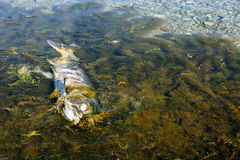 Dead chum salmon (Oncorhynchus keta) in Chehalis River, Fraser V. End of life cycle of Pacific Salmon, Fraser River Basin, Canada Stock Image