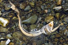 Dead chum salmon Oncorhynchus keta in Chehalis River, Fraser V. End of life cycle of Pacific Salmon. Only fish bone remains from a salmon after being eaten by a Royalty Free Stock Photos