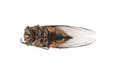 Dead cicada Stock Photography