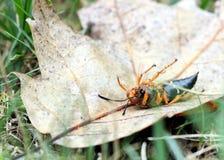 Dead cicada killer Stock Photography