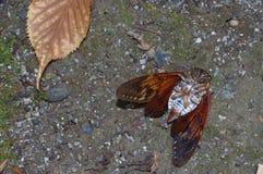 Dead cicada. The short lifespan of the cicada evokes the ephemerality of life Royalty Free Stock Photography