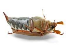 Dead cockchafer (Melontha vulgaris) Stock Photo