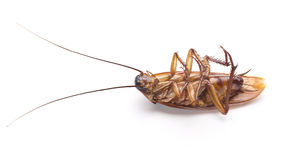 Dead cockroach. Isolated on a white background stock images