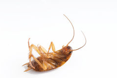 Dead  Cockroach Royalty Free Stock Image