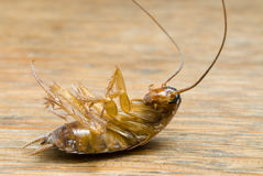 Dead Cockroach. Isolated on wooden table stock photography