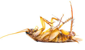 Dead Cockroach II Royalty Free Stock Photography