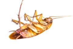 Dead Cockroach III Royalty Free Stock Photography