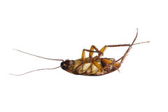 Dead cockroach on isolated background. Royalty Free Stock Images