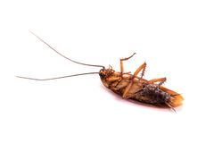 Dead cockroach Royalty Free Stock Photo